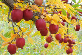 Apples on Tree w Yellow Leaves