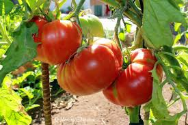 Tomatoes, on the vine